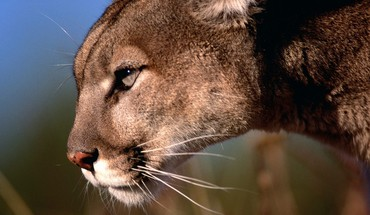 Animals mountain lions HD wallpaper