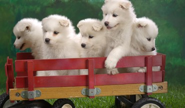 Samoyed animals dogs puppies HD wallpaper