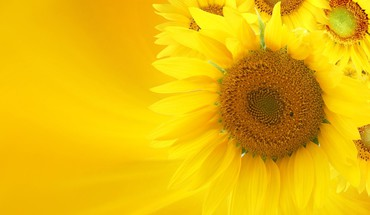 Soft glow of sunflowers HD wallpaper