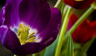 Closeup flowers purple tulips HD wallpaper