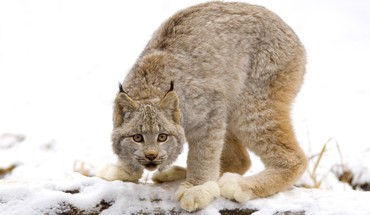 Canadian animals lynx nature HD wallpaper