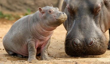 Animals baby hippopotamus HD wallpaper