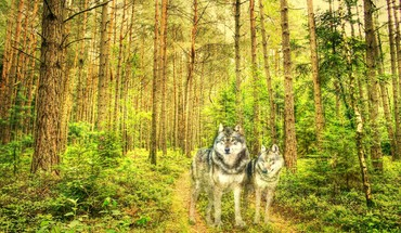 Hdr photography wolves HD wallpaper