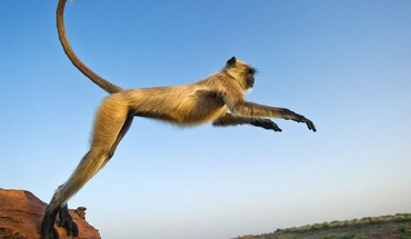 Jumping monkeys nature HD wallpaper
