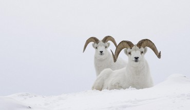 Goats nature snow HD wallpaper