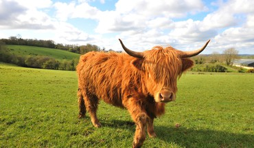 Ecosse animaux vaches fields herbe  HD wallpaper