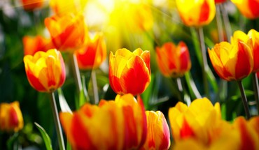 Flowers nature sunlight tulips HD wallpaper