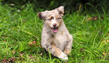 Animals australian shepherds dogs puppies HD wallpaper