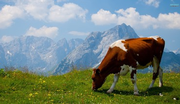 Alps animals cows HD wallpaper