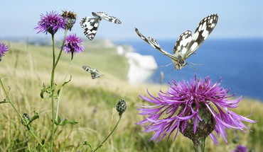 England thistles butterflies sea HD wallpaper