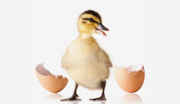 Baby birds duckling ducks eggs HD wallpaper