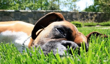 Animals boxer dog dogs grass mammals HD wallpaper