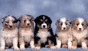 Animals australian shepherds baby blue background dogs HD wallpaper