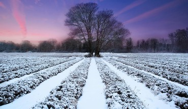 Lavender field and winter sunset HD wallpaper