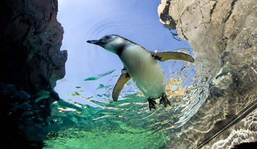 Animals birds penguins swimming HD wallpaper