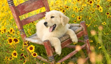 Dogs golden retriever HD wallpaper
