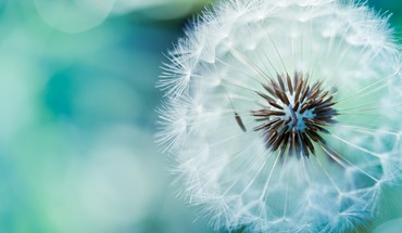 Dandelions flowers macro nature white HD wallpaper