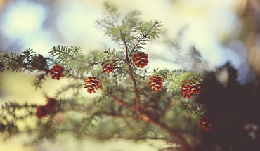 Branches cones trees HD wallpaper