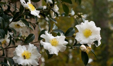 Camellias flowers white HD wallpaper
