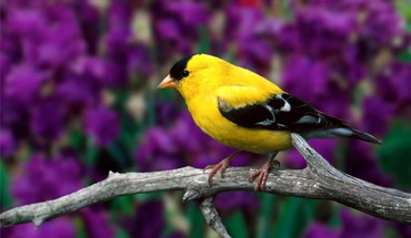 Goldfinch birds branches depth of field nature HD wallpaper