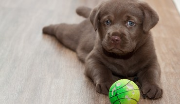 Labrador puppy HD wallpaper