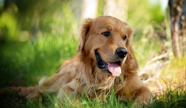 Animals dogs golden retriever pets HD wallpaper