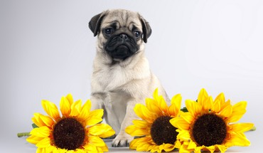 Pug and sunflowers HD wallpaper