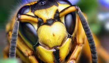 Insects wasp macro HD wallpaper