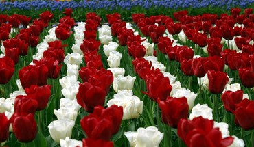 champs Fleurs tulipes holland  HD wallpaper