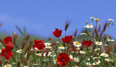 Nature flowers poppies daisies HD wallpaper