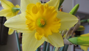 The daffodill HD wallpaper