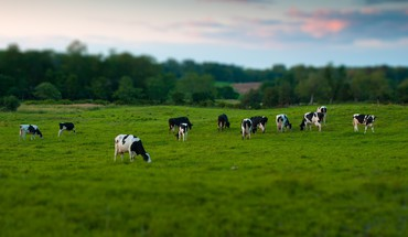 Animals cows grass tiltshift trees HD wallpaper