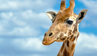 Animals blue skies clouds giraffes HD wallpaper