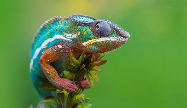 Chameleons macro reptiles HD wallpaper