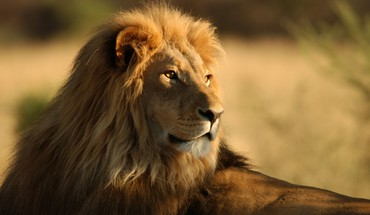 Africa animals lions wildlife HD wallpaper