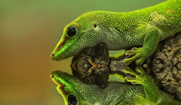 Gecko reptiles reflections HD wallpaper
