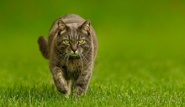 Feline steps HD wallpaper