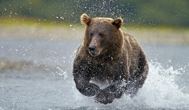 Alaska fishing national park brown bear HD wallpaper