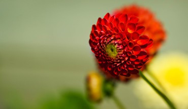 Blumen rot  HD wallpaper