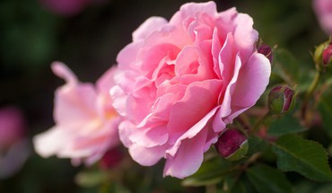 Flowers macro roses pink HD wallpaper