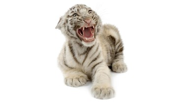 Animaux chats oursons tigres félins  HD wallpaper