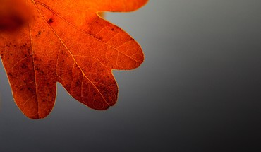 Autumn closeup gray background leaves macro HD wallpaper