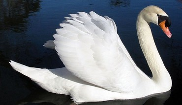 Birds animals swans HD wallpaper