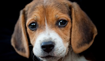 Animaux chiens beagle chiots  HD wallpaper