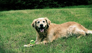 Happy dogs golden retriever HD wallpaper