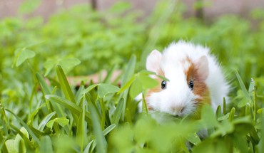 Grass guinea pigs HD wallpaper