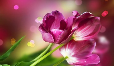Some beautiful tulips HD wallpaper