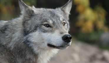 Grey wolf portrait HD wallpaper