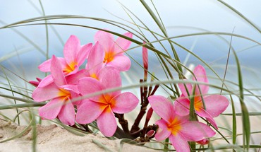 Plumeria on a beach sand dune HD wallpaper