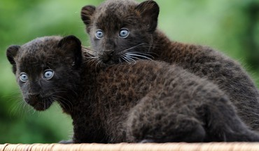 Animals baby black panthers HD wallpaper